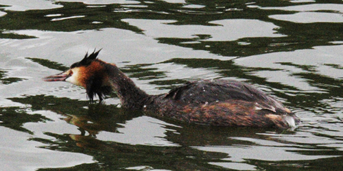 Norfolk5-Grebe_0550.jpg