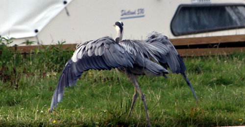 Norfolk6-Heron_0468.jpg